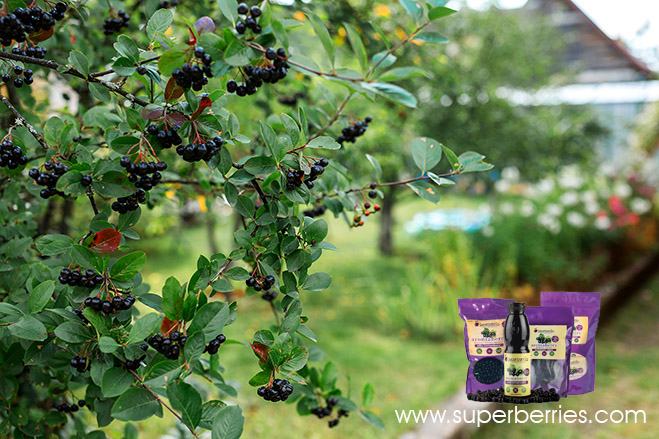 Aroniaberry Bush - The Featured Berry in Superberries Products
