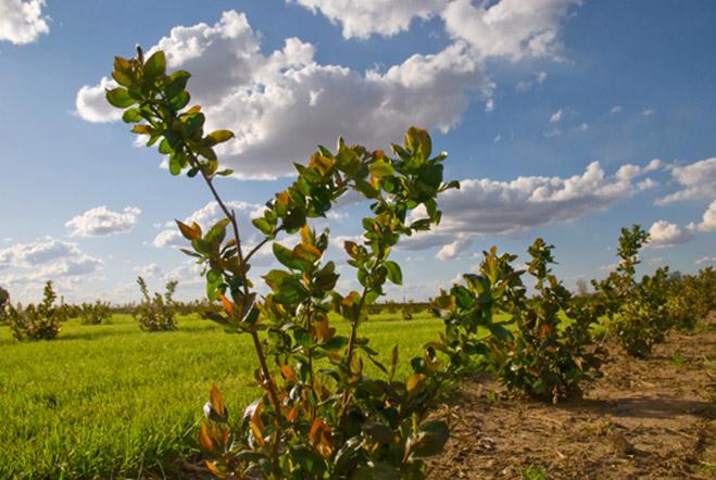 Aroniaberry Bush in Field