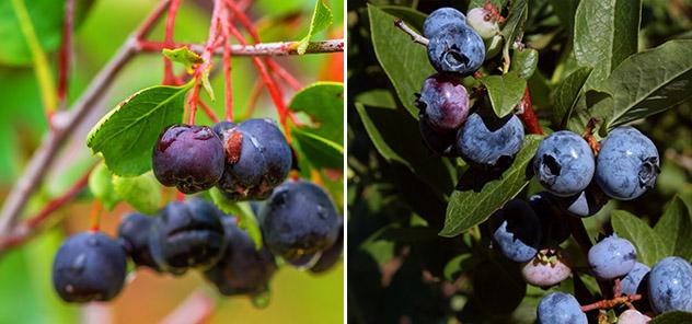 Aroniaberry vs Blueberry